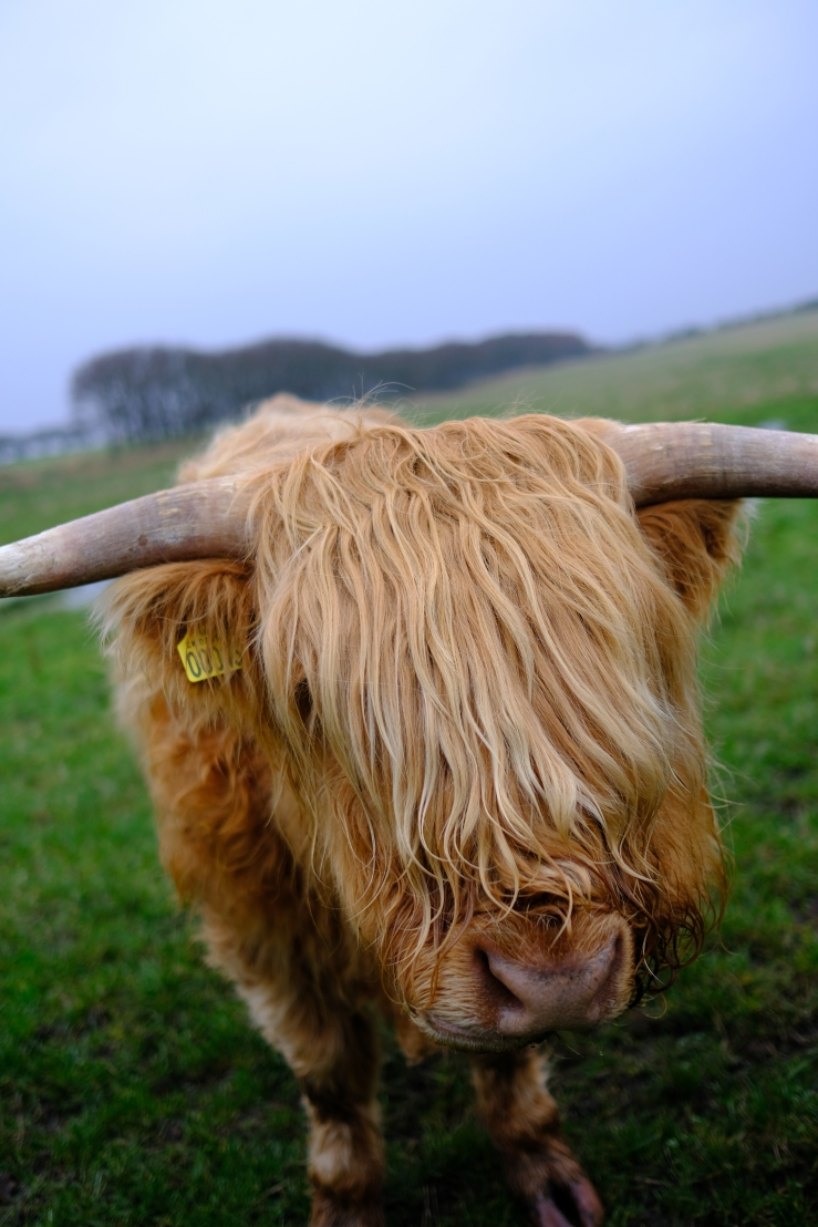 A cow with long horns and long blond hair stands in a grassy field.